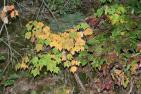 Palette of colors, maple and sourwood