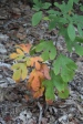 sassafrass-with-its-different-shaped-leaves-ga-52-near-fort-mountain-state-park-in-murray-county