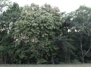 The showy sourwood even before color change.