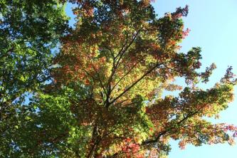 yellow-green-and-red-a-maple-in-change-on-the-richard-russell-scenic-hwy-10-12-16