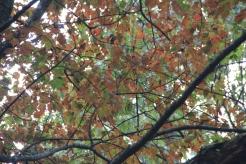 Red maple near Brasstown Bald 10-01-17