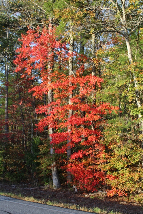 Red Maple on GA 60 between Suches and Blue Ridge 10-24-17