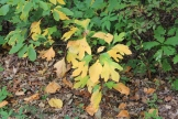 Sassafras on GA 180 Spur headed to Brasstown Bald 10-01-17