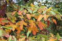 The Many Shades of Sassafras - Richard Russell Scenic Hwy 10-25-17