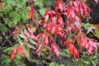 Winged sumac off of GA180-10-10-17