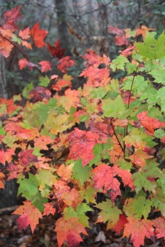 Chenocetah Mountain Maple 11-08-17