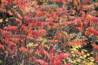 Sumac on GA 197 Habersham County 11-08-17
