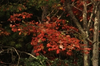 A Red Maple in Full Glory_Richard Russell Scenic Hwy_White County 10-23-18