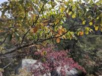 chestnut oak light yellowNW