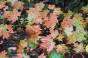 Red Maple_Richard Russell Scenic Hwy 10-09-18