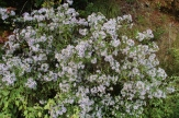 These Asters Seem to Like the Extended Summer 10-02-18 Richard B Russell Scenic Hwy