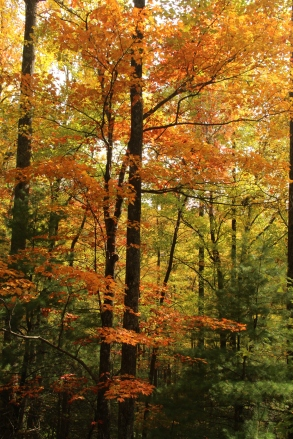 An Understory Maple_GA 180_Uniono County_10-30-18