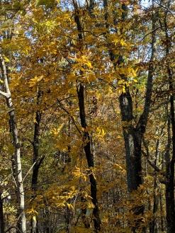 Hickory dark yellow NW