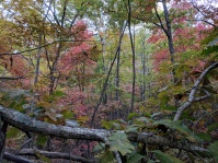 White oak with blackgum sourwood hickory background NW